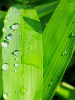 Wet Grass 240x320 - Nature - Wallpaper for mobile phones For