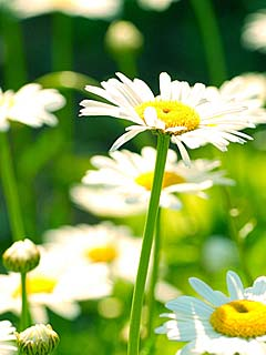 Chamomile 2 240x320 - Nature - Wallpaper for mobile phones